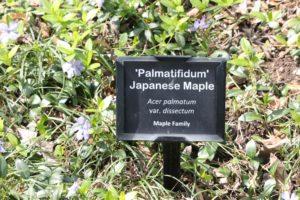 Acer-palmatum-var-dissectum-governor-mouton-patio-label-01
