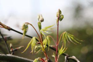 Acer-palmatum-var-dissectum-governor-mouton-patio-part-02