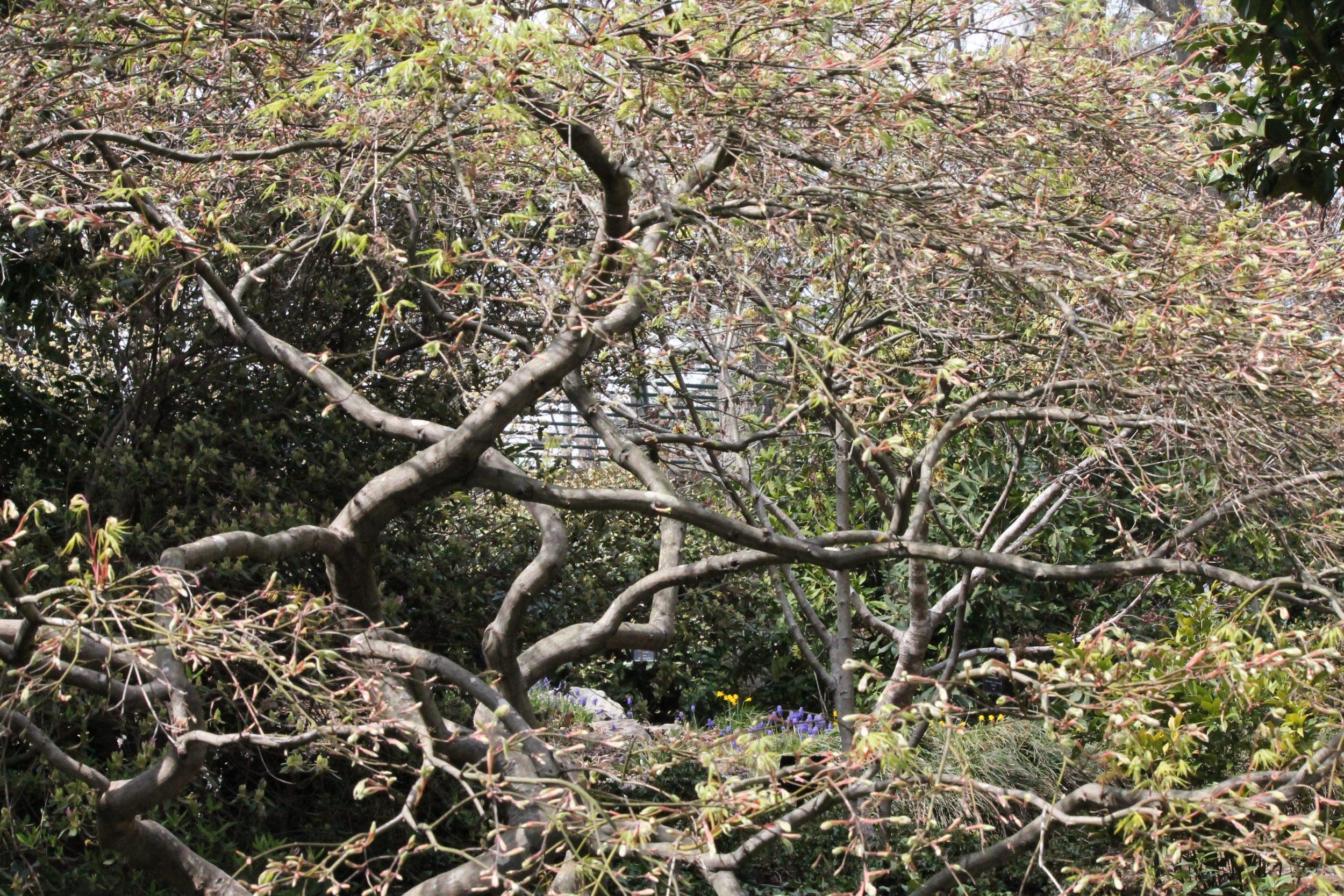 Susie Harwood Garden | Acer palmatum var  dissectum