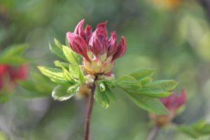 Aucuba-japonica-gold-dust-tree-hillside-part-02