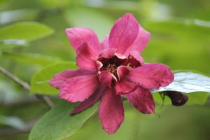 Calycanthus-raulstonii-haritage-wine-native-ferns-part-02