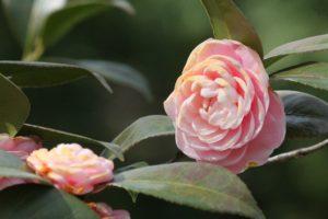Camellia-sasanqua-yuletide-camellia-hill-part-01