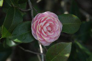 Camellia-sasanqua-yuletide-camellia-hill-part-02