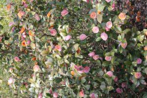 Camellia-sasanqua-yuletide-camellia-hill-whole-01