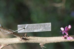 Cercis-chinensis-avondale-hillside-label-01