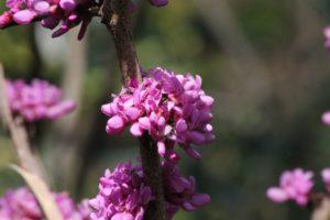 Cercis-chinensis-avondale-hillside-part-02
