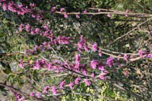 Cercis-chinensis-avondale-hillside-whole-01
