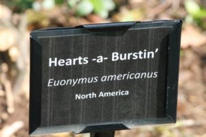 Euonymus-americanus-governor-mouton-patio-label-01