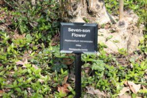 Heptacodium-miconioides-governor-mouton-patio-label-01