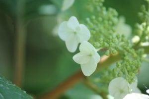 Hydrangea-quercifolia-alice-camellia-hill-part-01