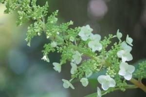 Hydrangea-quercifolia-alice-camellia-hill-part-02