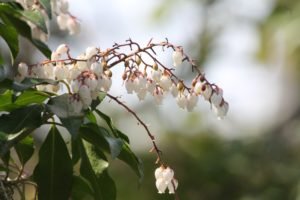 Pieris-japonica-dorothy-wycoff-upper-entry-part-01