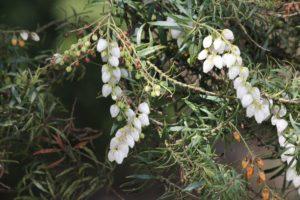 Pieris-japonica-pygmaea-governor-mouton-patio-part-01