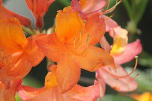 Rhododendron-azalea-azalea-hill-AH46-part-02
