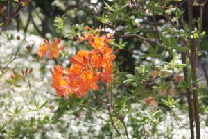 Rhododendron-azalea-azalea-hill-AH46-whole-01