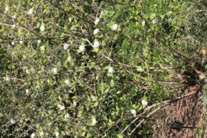 Viburnum-carlesii-sun-mosaic-north-whole-01