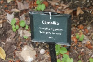 camellia-japonica-margery-adams-little-crowders-label-01