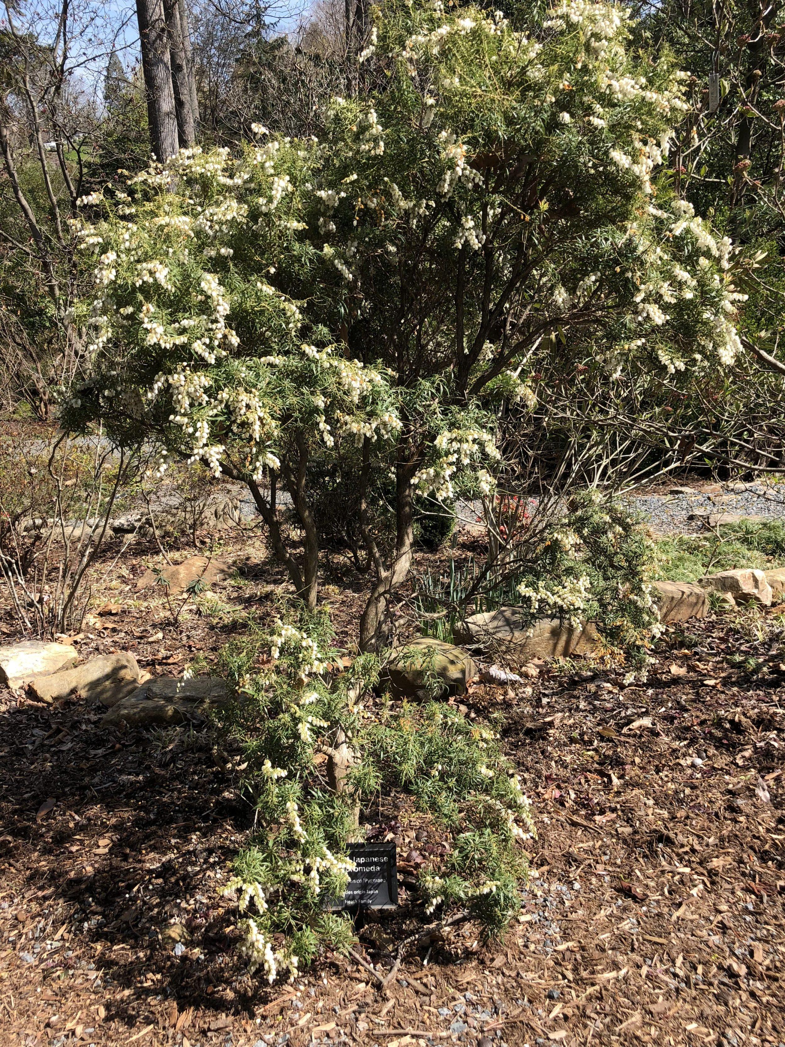 Susie Harwood Garden   Pieris japonica \'Pygmaea\' #4