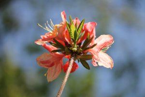 rhododendron-azalea-pavane-azalea-hill-part-02