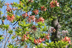 rhododendron-azalea-pavane-azalea-hill-whole-01