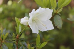 rhododendron-cultivar-upper-entry-part-01