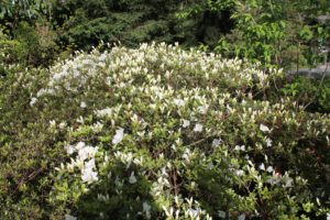 rhododendron-cultivar-upper-entry-whole-01