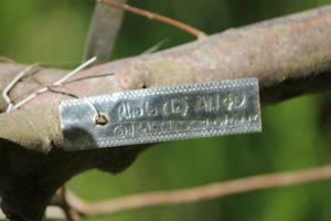rhododendron-gibraltar-austrinum-azalea-hill-label-01