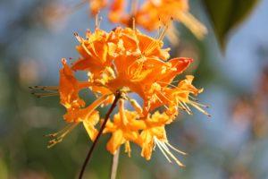 rhododendron-gibraltar-austrinum-azalea-hill-part-04