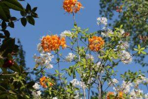 rhododendron-gibraltar-austrinum-azalea-hill-whole-01