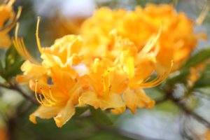 rhododendron-mollis-canascens-hillside-part-01