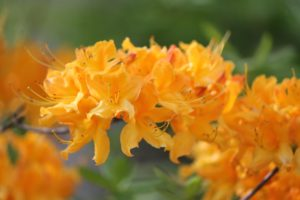 rhododendron-mollis-canascens-hillside-part-02