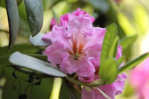 rhododendron-pink-satin-rhodo-hill-part-01