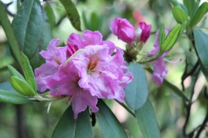rhododendron-pink-satin-rhodo-hill-part-03