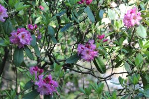 rhododendron-pink-satin-rhodo-hill-whole-01