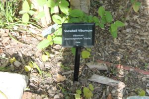 viburnum-macrocephallum-winter-walk-label-01