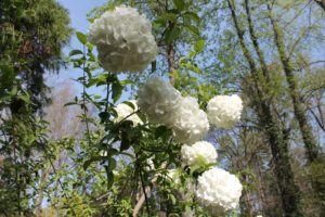 viburnum-macrocephallum-winter-walk-whole-01